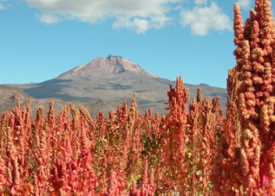 Quinoa Real grown near Uyuni on the Bolivian Altiplano. Mount Tunupa in the background. Photo credit: Mark Philbrick/BYU