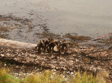 Ducklings at Green Lake