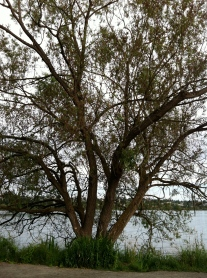 Tree at Green Lake