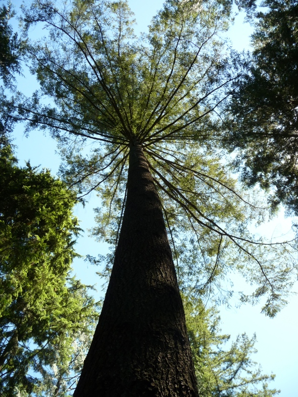 Giant Trees in Capilano